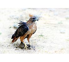 Hungry Red Teiled Hawk Photographic Print