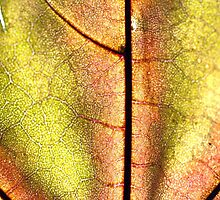 Leaf close up by mayalenka
