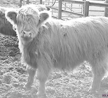 Highland Cow by KatieReid