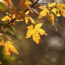 Sweet Gum Leaves in Autumn by Kent Nickell