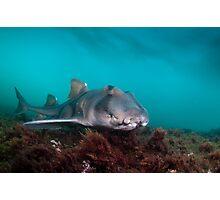 Port Jackson Shark, Montague Island, Australia Photographic Print