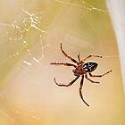 Garden Spider - Araneus diadematus by Susie Peek