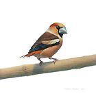 Hawfinch by v0ff