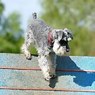 NZDAC GORE 2014 - Schnauzer by AndreaEL