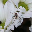 Spider Chrysanthemum by AnnDixon