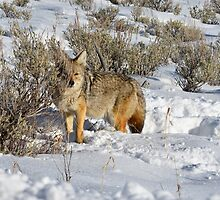 Peeking Coyote by DWMMPhotography