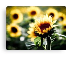 Sunflowers make me smile Canvas Print