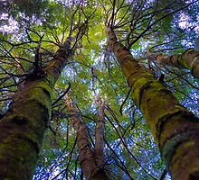 Towering birch trees on the Wellington summit track Tasmania. by Nick Griffin