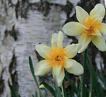 Old Fashion Daffodil at base of Birch Tree by Geno Rugh