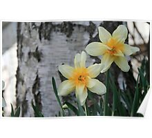 Old Fashion Daffodil at base of Birch Tree Poster