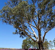 Gum tree among the lavender 3 by jwwallace