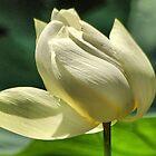 Hope equal Lotus by loiteke