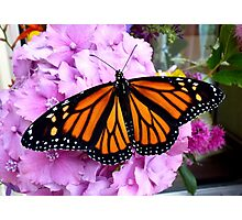 Imago Emerged! - Monarch Butterfly - NZ Photographic Print