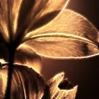 Christmas Rose II by Tracy Deptuck
