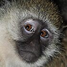 The Eyes Have It! Black-faced Vervet Monkey, Kenya  by Carole-Anne