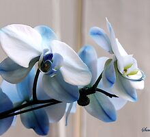 Crystal Blue Persuasion ~ Orchids by SummerJade
