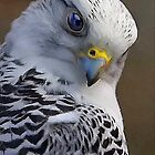 Grey Falcon by Sharon Poulton