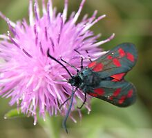 Six-spot Burnet Moth by kenmay