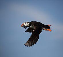 Atlantic Puffin in flight by Maria Gaellman