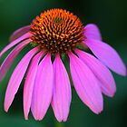 Purple Coneflower Delight by Debbie Oppermann