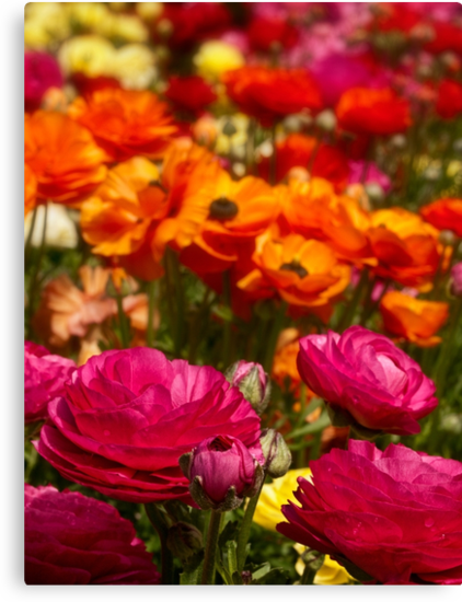 A profusion of ranunculus colors by Celeste Mookherjee