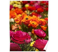 A profusion of ranunculus colors Poster