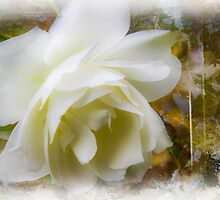 A White Rose by Barry  Jones