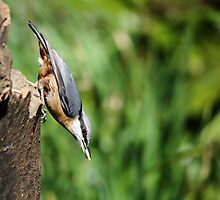 Nuthatch with seed by Maria Gaellman