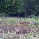 Buck in the Meadow - White tailed deer buck by Jim Cumming