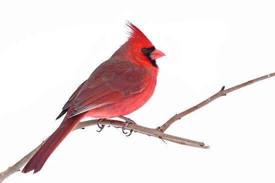 Northern Cardinal by Jim Cumming