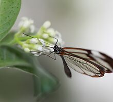 Glasswinged Butterfly by Maria Gaellman