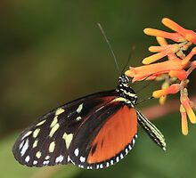 Tiger Butterfly on Orange Flower by Maria Gaellman