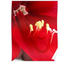 Amaryllis named Black Pearl Poster
