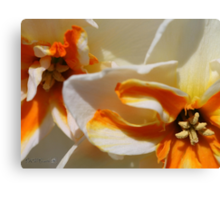 Split-cupped Narcissus named Trepolo Canvas Print