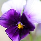 Viola named Sorbet Violet Beacon by JMcCombie