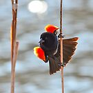 Red-winged Blackbird  by Nancy Barrett