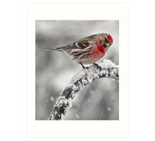 Red Poll -- Cold, But Hungry Art Print