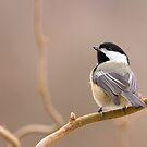 Chickadee in Filbert by Tom Talbott