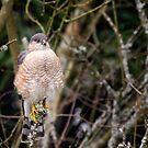 Hawk on a Stick -- Sharp-shinned Hawk by Tom Talbott