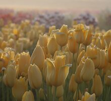 Tulip Morning - A field of yellow tulips on a misty morning by MyDigitalOregon