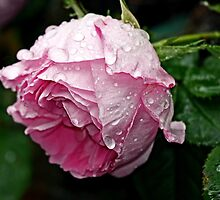 """""""It's Raining........."""" by Rosehaven"""