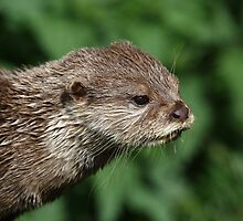 Asian Short-Clawed Otter by Maria Gaellman