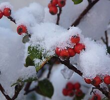 Red Berries in the Snow by Jennifer J Watson