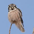 Northern Hawk Owl by Larry Trupp