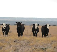 Calves at Noon by PierotPhotos