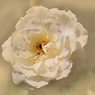 White Rose by julie anne  grattan