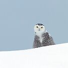 The 'disappointed' look - Snowy Owl by Jim Cumming