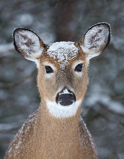 New Winter hat - White-tailed deer by Jim Cumming