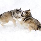 Cain and Able - Timber Wolf by Jim Cumming