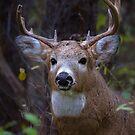 Battle Scars - White-tailed deer Buck by Jim Cumming